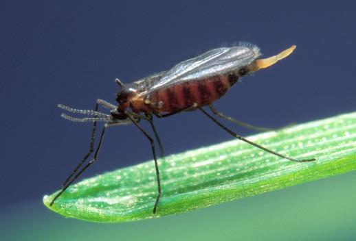 Insect-Barley-Midge-Fly-Hessian-640860.jpg