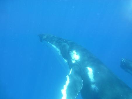 humpback-whale-464980_1920